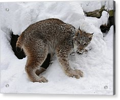 Baby Lynx Staying Close To Its Winter Den Acrylic Print by Inspired Nature Photography Fine Art Photography