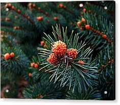 Baby Pinecones Acrylic Print by Julie Dant
