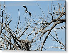 Back To The Nest Acrylic Print by Bob Hislop