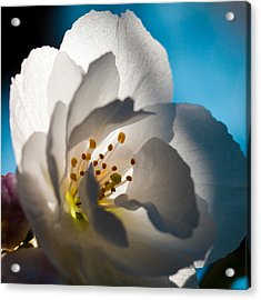 Backlit Cherry Blossom Acrylic Print by David Patterson