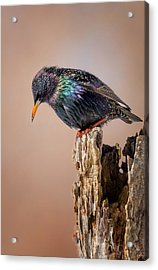 Backyard Birds European Starling Acrylic Print by Bill Wakeley
