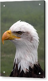 Bald Eagle Portrait Acrylic Print by Brian Chase