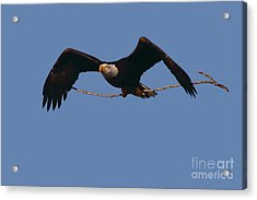 Bald Eagle With Nesting Supplies Acrylic Print by Meg Rousher