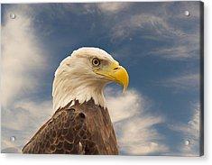 Bald Eagle With Piercing Eyes 1 Acrylic Print by Douglas Barnett