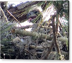 Bald Eagles Chick Acrylic Print by Zina Stromberg