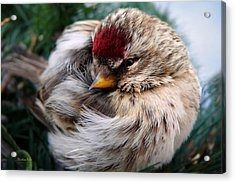 Ball Of Feathers Acrylic Print by Christina Rollo