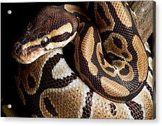 Acrylic Print featuring the photograph Ball Python Python Regius by David Kenny