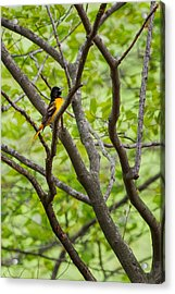 Baltimore Oriole Acrylic Print by Bill Wakeley