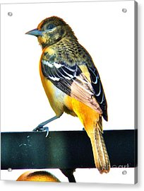 Baltimore Oriole Female Acrylic Print by Judy Via-Wolff