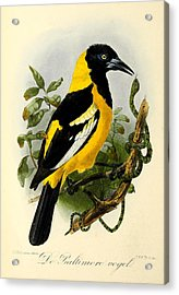 Baltimore Oriole Acrylic Print by J G Keulemans
