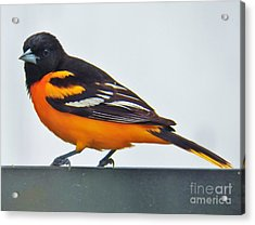 Baltimore Oriole Male Acrylic Print by Judy Via-Wolff