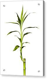 Bamboo Acrylic Print by Jeff Burton