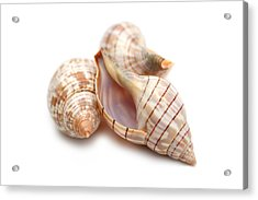 Banded Tulip Seashells Macro Acrylic Print by Jennie Marie Schell