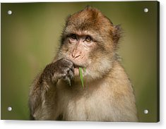 Barbary Macaque Acrylic Print by Andy Astbury