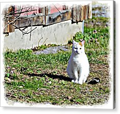 Barn Cat Acrylic Print by Susan Leggett