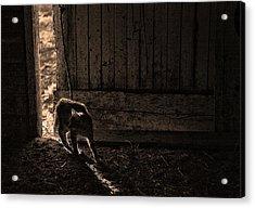 Barn Cat Acrylic Print by Theresa Tahara