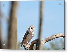 Barn Owl Acrylic Print by David S Reynolds