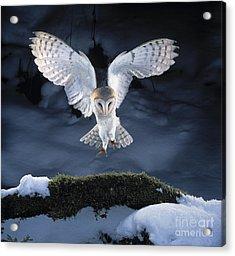 Barn Owl Landing Acrylic Print by Manfred Danegger
