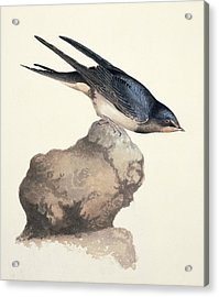 Barn Swallow, 19th Century Acrylic Print by Science Photo Library