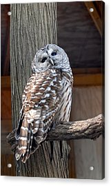 Barred Owl 264 Acrylic Print by Joyce StJames