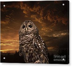 Barred Owl  Acrylic Print by Cris Hayes