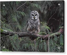 Barred Owl Stare Down Acrylic Print by Daniel Behm