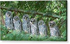 Barred Owlets Nursery Acrylic Print by Jennie Marie Schell