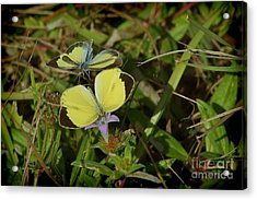 Barred Yellow Butterflies Acrylic Print by Lynda Dawson-Youngclaus