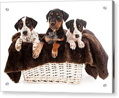 Basket Of Rottweiler Mixed Breed Puppies Acrylic Print by Susan Schmitz