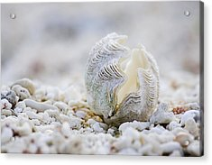 Beach Clam Acrylic Print by Sean Davey