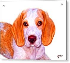 Beagle Dog On White Background Acrylic Print by Iain McDonald