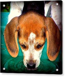 Beagle Puppy 3 Acrylic Print by Lynn Griffin
