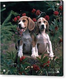Beagles Acrylic Print by Hans Reinhard
