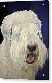 Bearded Collie - The 'bouncing Beardie' Acrylic Print by Christine Till