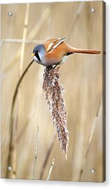 Bearded Tit Acrylic Print by Colin Varndell