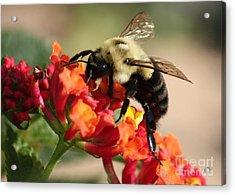 Beautiful Bee Acrylic Print by Carol Groenen