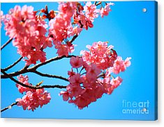 Beautiful Bright Pink Cherry Blossoms Against Blue Sky In Spring Acrylic Print by Beverly Claire Kaiya