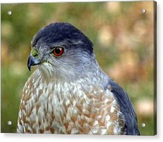 Beautiful Hawk Acrylic Print by Teresa Schomig