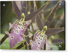 Beautiful Mtssa. Shelob 'tolkien' - Orchids - Mericlone  Acrylic Print by Sharon Mau