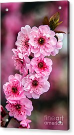 Beautiful Pink Blossoms Acrylic Print by Robert Bales