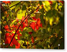 Beautiful Red Acrylic Print by Gloria Pasko