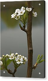 Beauty On A Stick Acrylic Print by Qing