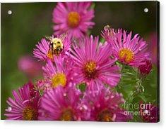 Bee Acrylic Print by Alana Ranney