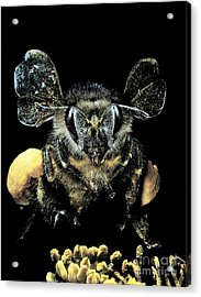 Bee Loaded With Pollen Acrylic Print by Darwin Dale