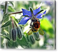 Bee On Borage Acrylic Print by Morag Bates