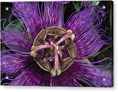 Bee On Passion Flower Brazil Acrylic Print by Pete Oxford