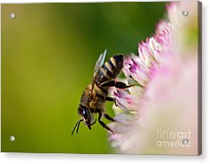 Bee Sitting On A Flower Acrylic Print by John Wadleigh