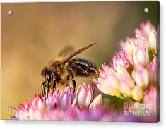 Bee Sitting On Flower Acrylic Print by John Wadleigh