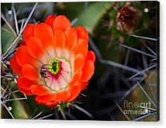 Bee Ware The Thorns Acrylic Print by Deb Halloran
