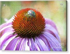 Beetle Bug Acrylic Print by Juli Scalzi
